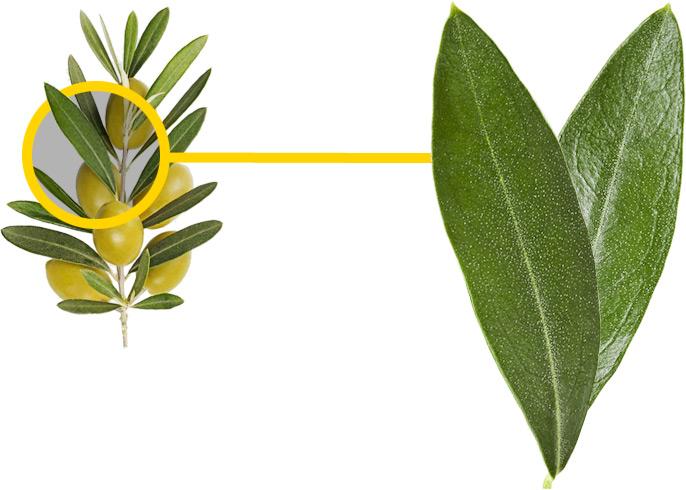 Экстракт листа оливы